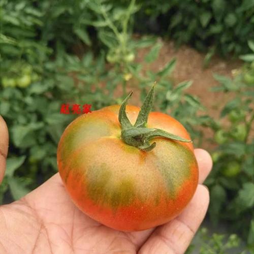 鐵皮西紅柿