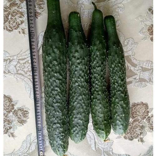 內蒙固陽黃瓜棚