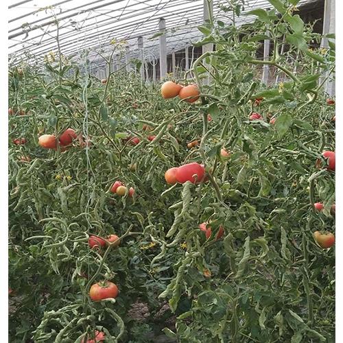 卷叶西红柿